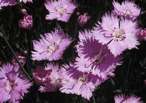 Baths Pink Dianthus