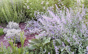 Blue Wonder Catmint