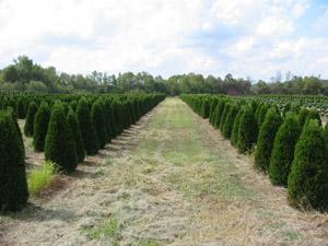 Marshall Trees Amp Nursery Trees Canaerti Juniper