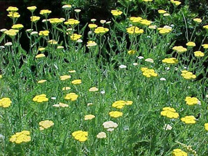 Coronation Gold Achillea