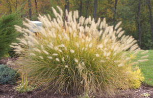 Dwarf Fountain Hamelin Grass
