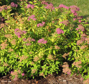 Gold Flame Spirea