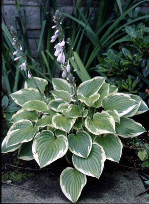Shade Fanfare Hosta