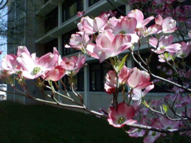 Pink Dogwood Kearney Missouri Marshall Trees And Nursery